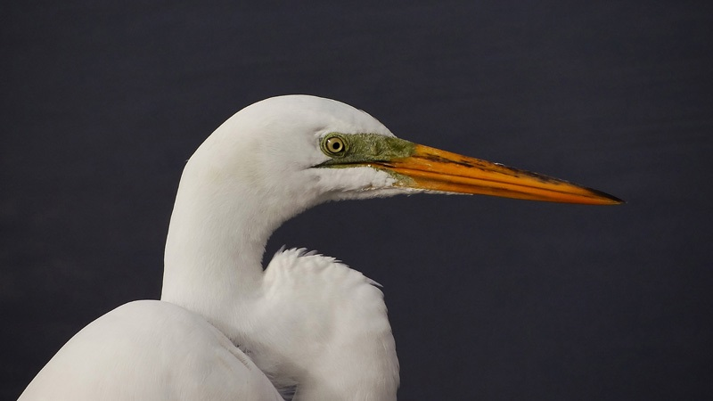 Egret Up Close                                small res 8 x 4 inches  print large format print.jpg