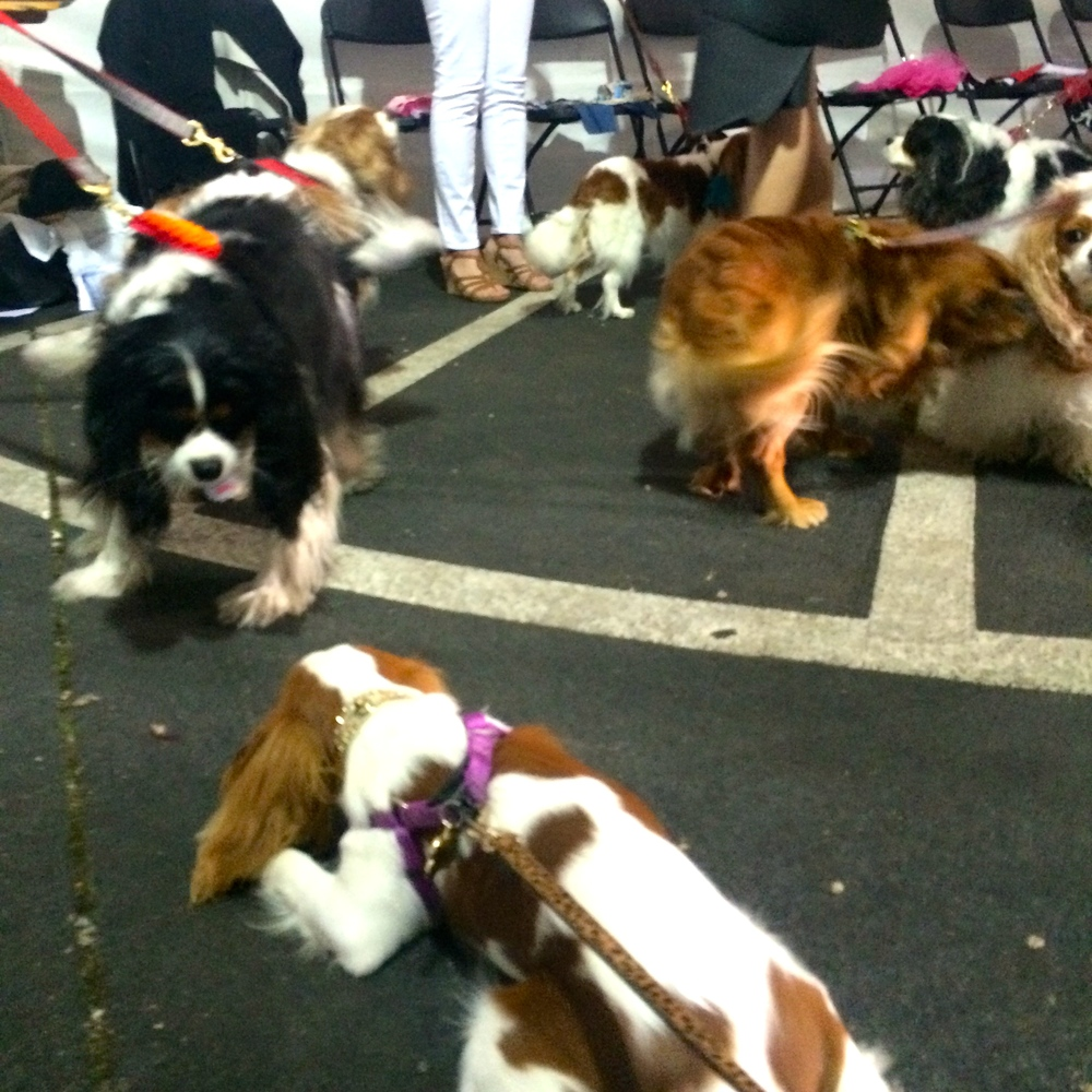 The dressing rooms had truly gone to the dogs when more than a dozen Cavalier King Charles Spaniels arrived on the set of Birmingham Fashion Week.