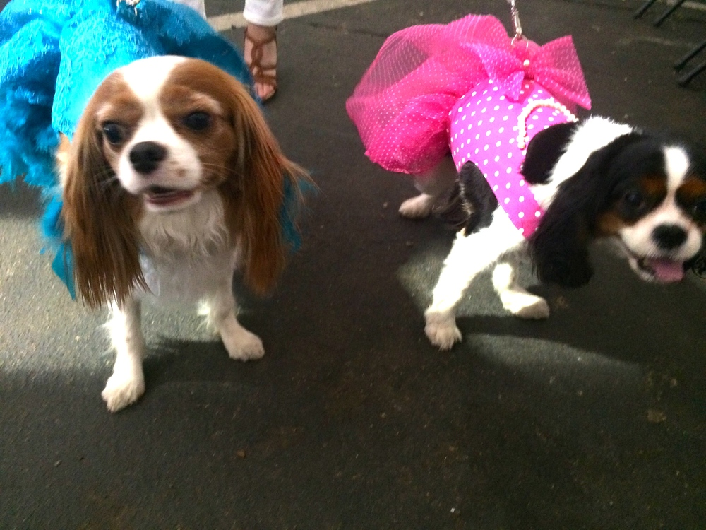 Pearl and Lola are dressed and ready to show off their Cavalier couture.