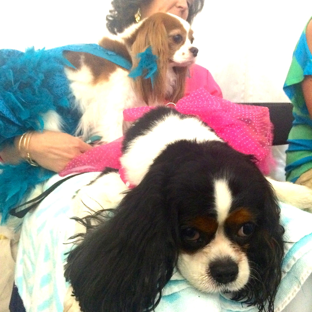 Pearl and Lola wait backstage after being dressed to the nines by designer Patricia Savastano of Spoiled Dog Designs.