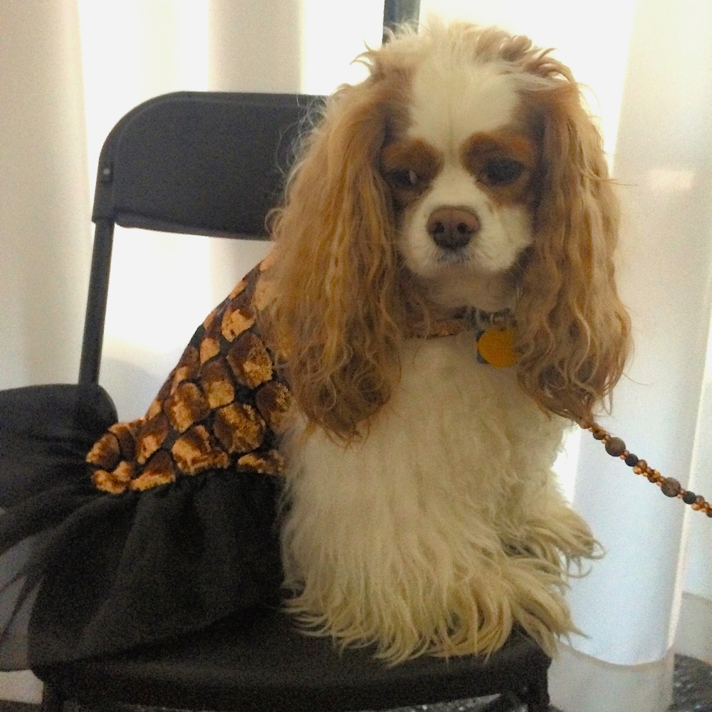 """Collin is mustering his inner """"Colleen"""" as he graciously wears the Copper Sequin Gown to benefit Cavalier Rescue USA."""