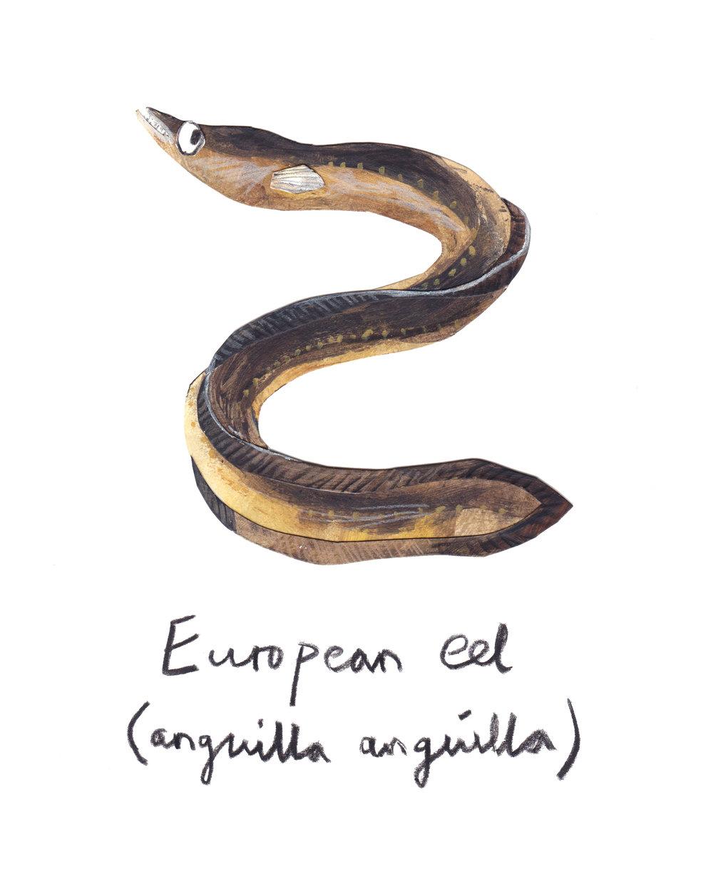 European Eel adult