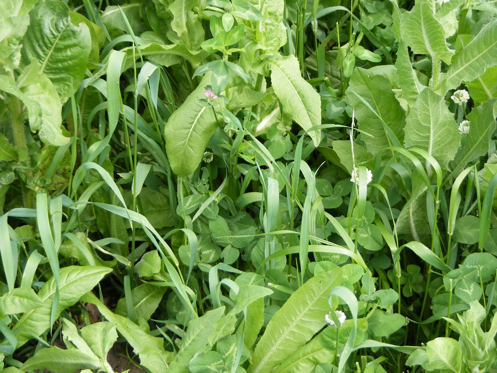 With chicory as a major component of Drought Buster, this mix flourishes in the summer.