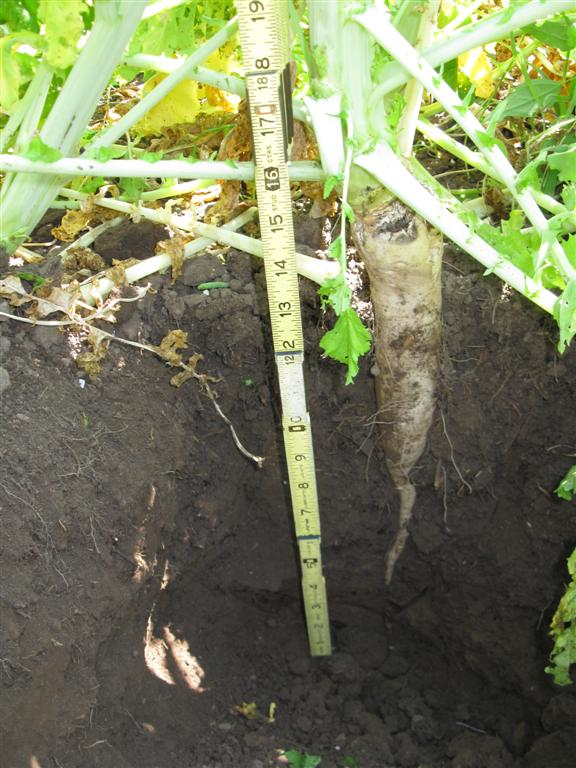 Two month old Groundhog radish busy scavenging nutrients, breaking up compaction, and attracting earthworms.