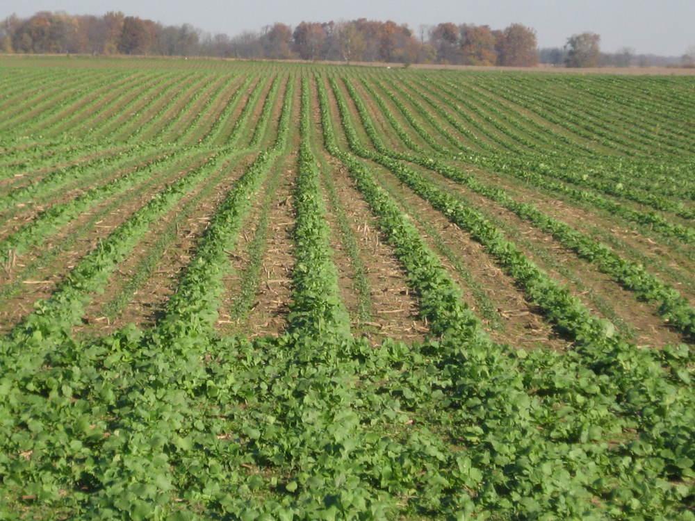 Peas and Radish Fall 2012