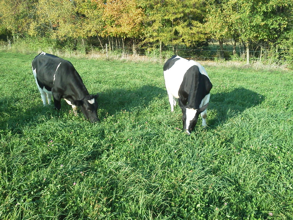 Gallant Red Clover and Profit Orchardgrass are great companions for intensive grazing.