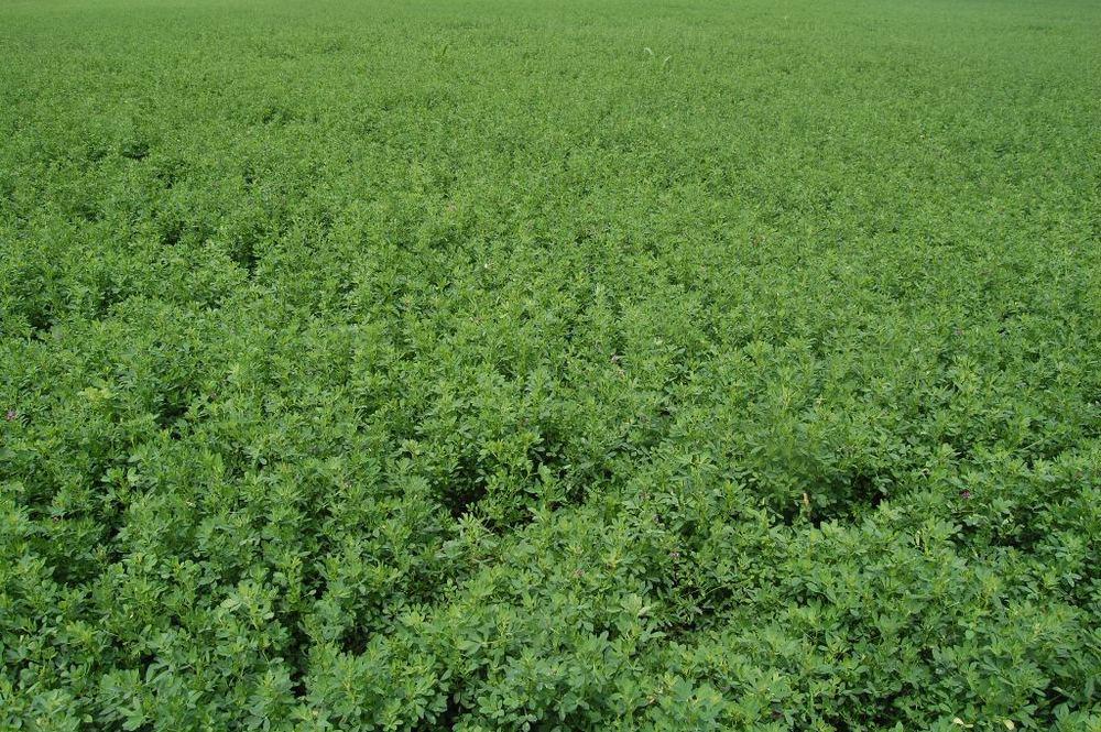 WL RR Alfalfa seeding year - right before first cutting