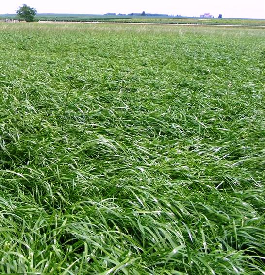 Feast ii italian ryegrass can be used for grazing - or at a reduced rate per acres - for an alfalfa nurse crop.