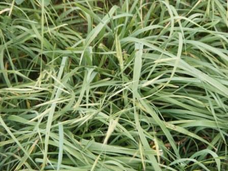 macbeth meadow brome is a great companion crop with alfalfa.