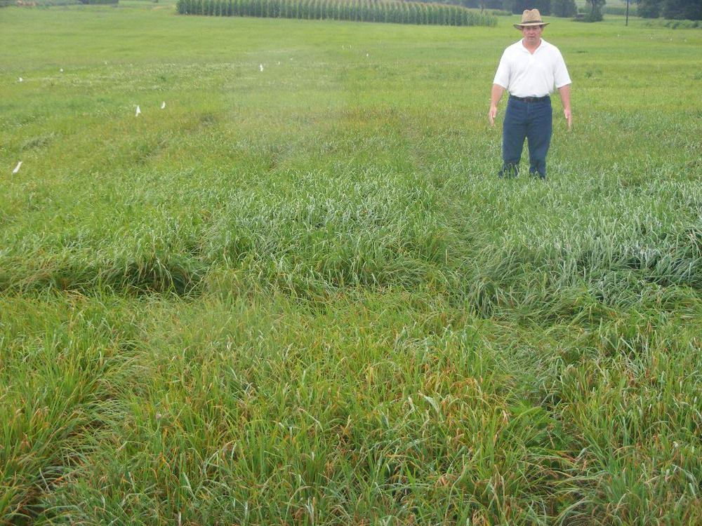 greg downing, cisco forage agronomist, standing in a plot of profit orchardgrass at the university of kentucky. Note: there is very little rust in the profit plot.