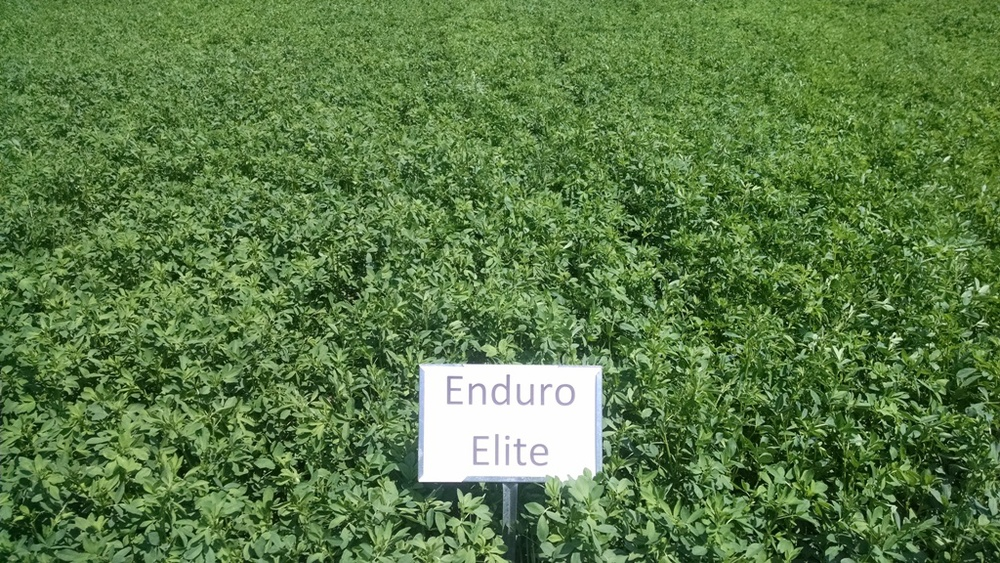 Enduro Elite Alfalfa Excellent Wide Angle Picture - Close Up.jpg
