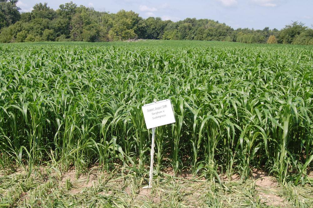 Super Sugar Delayed Maturity Sorghum Sudangrass