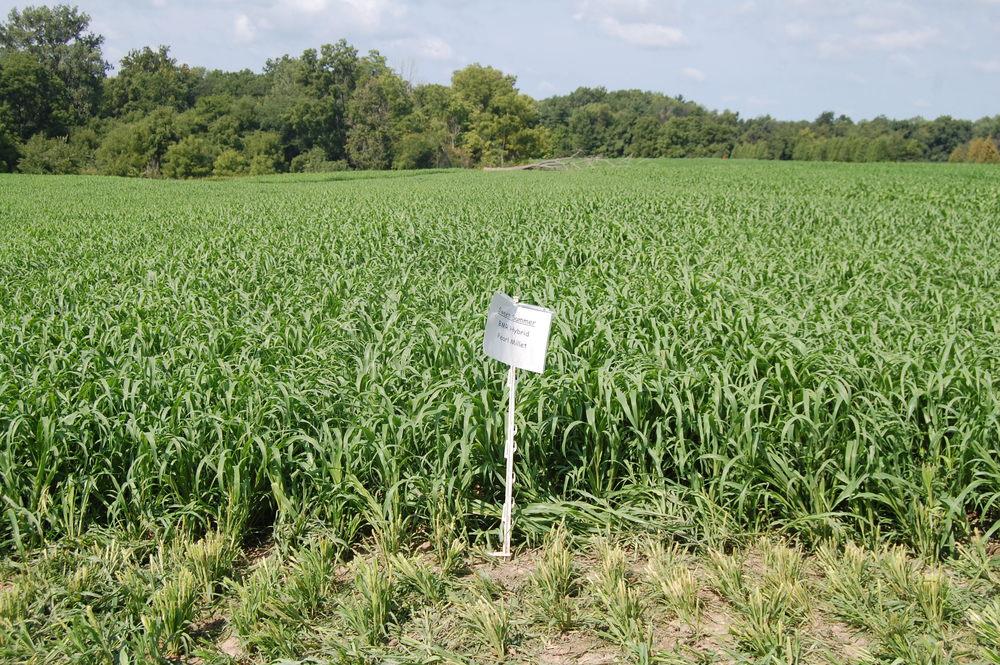 Sweet Summer Hybrid Pearl Millet