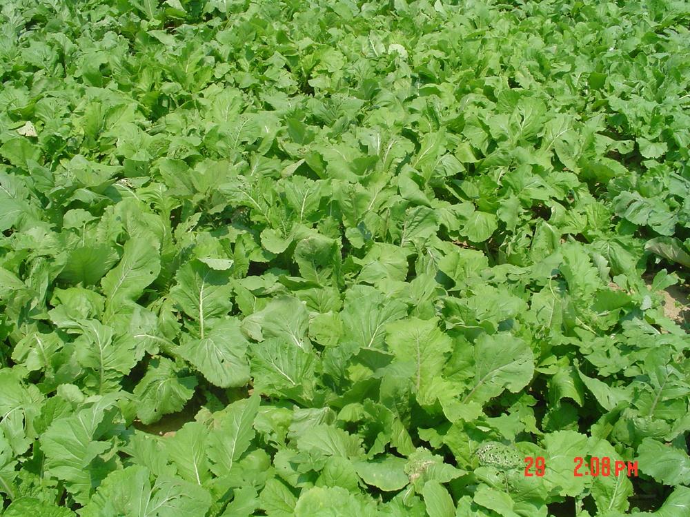 Pasja Hybrid Brassica