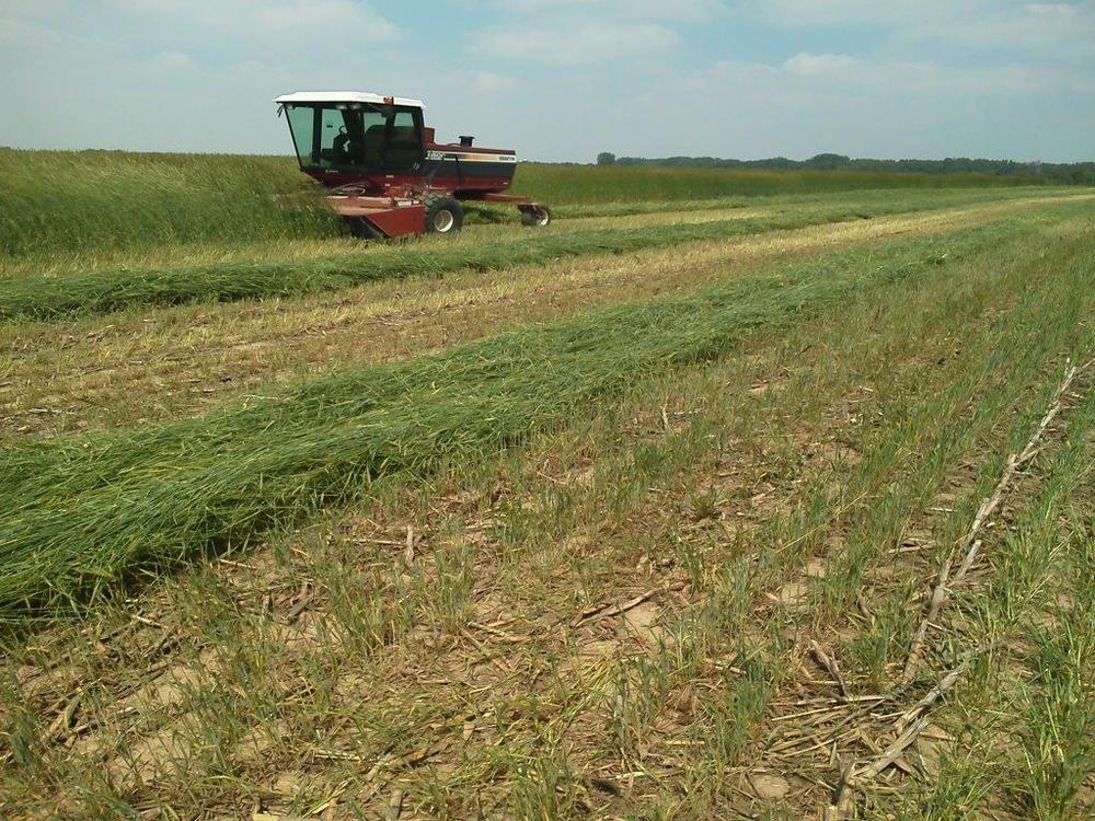 Mowing cover crop cereal rye