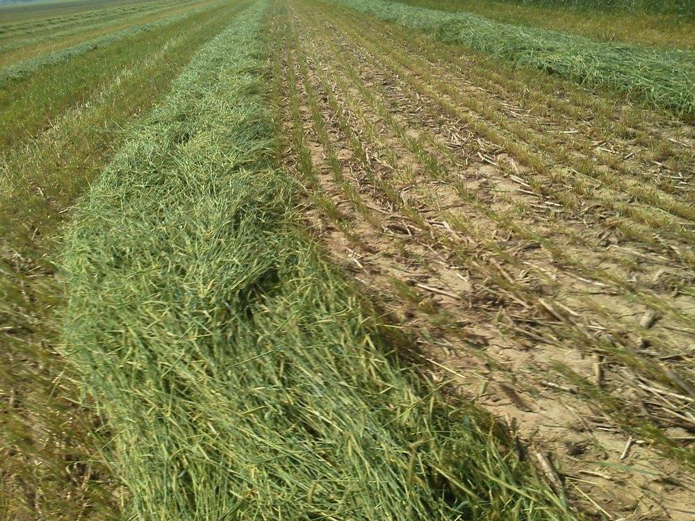 Mown cover crop cereal rye
