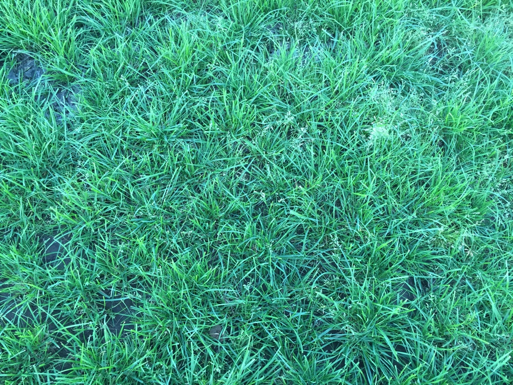 Albion Ryegrass in Missouri