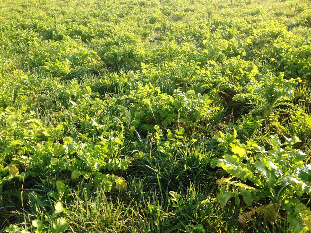 Cereal Rye/Radish Mix - seeded in August - picture in October.