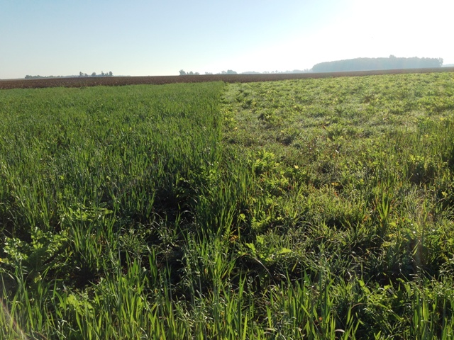 Modified Nutribuilder to the left - notice the prolific growth on the oats. Cereal Rye/Radish Mix on the right. Picture taken in October.