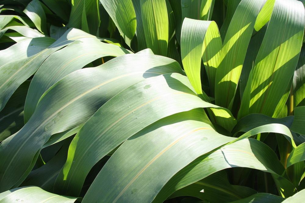 Silo Pro Brachytic Dwarf  Leaf