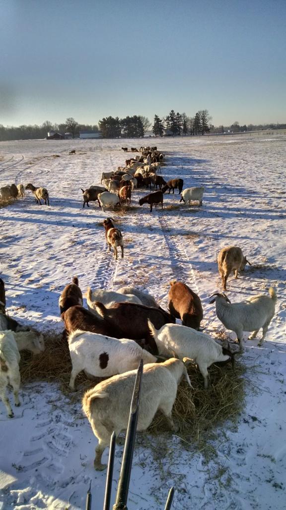 Boer Goat 4.jpg