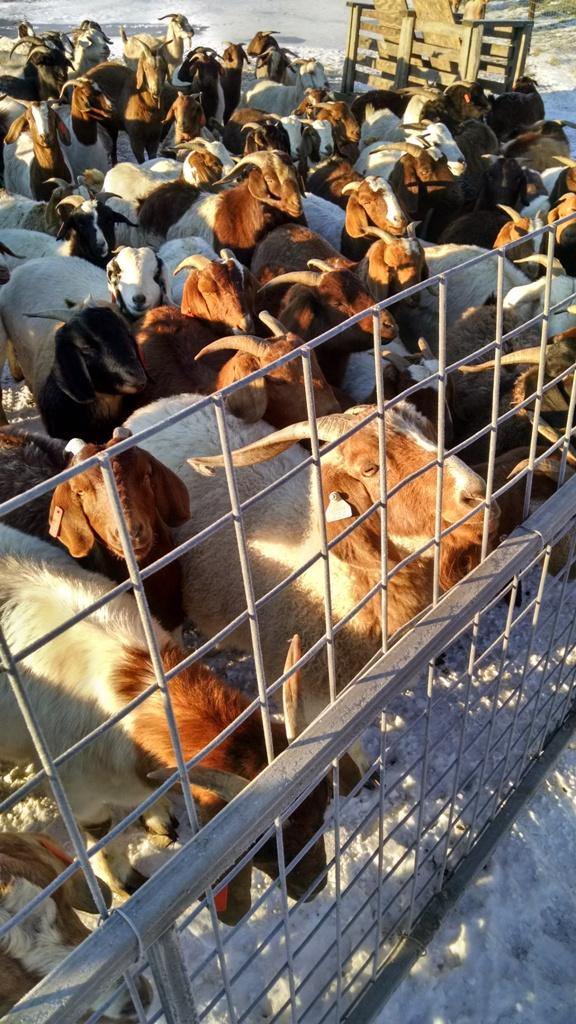 Boer Goat 2.jpg