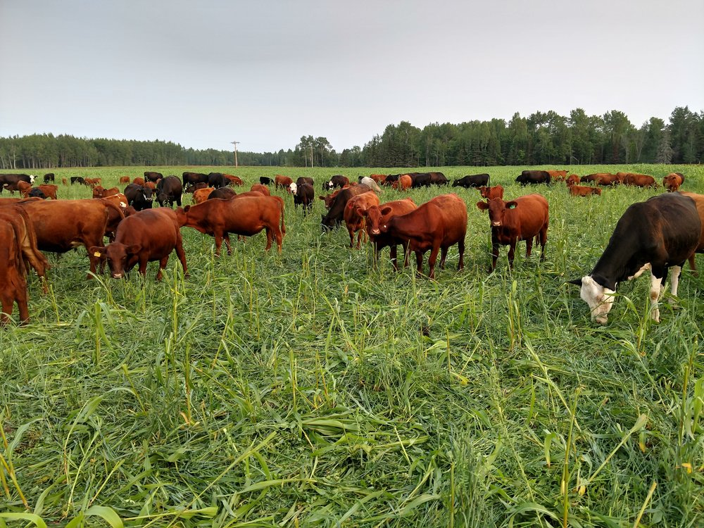 cover photo - cattle grazing summer annuals.jpg