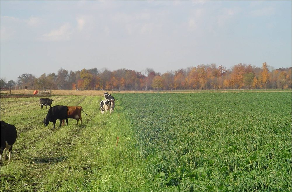 Cows grazing appin.jpg