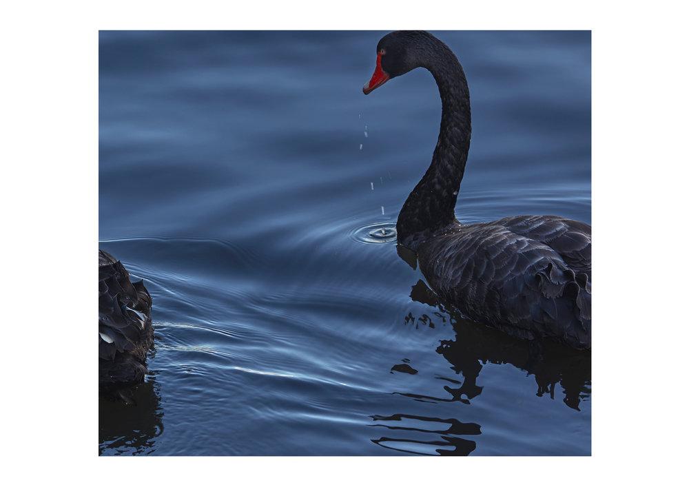 ©NCORBETT-SWANS3.jpg