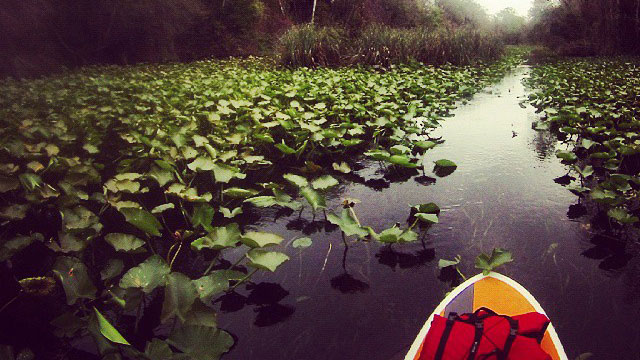 Lillies-on-wekiva-river-paddleboard-tour.jpg