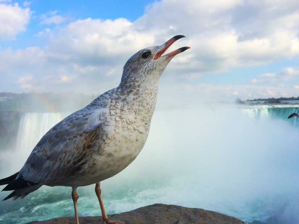 Be sure to observe the birds at Niagara Falls. They're ballsy as hell. Great to photograph.
