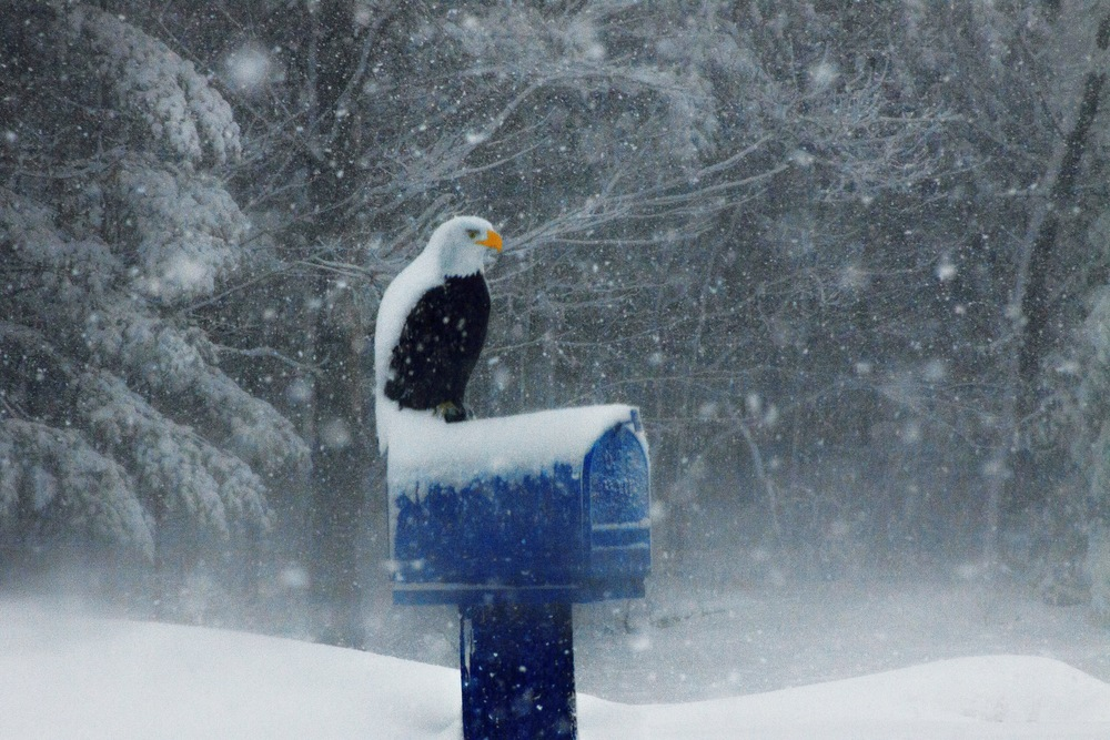 Snow Eagle - Warrens, WI