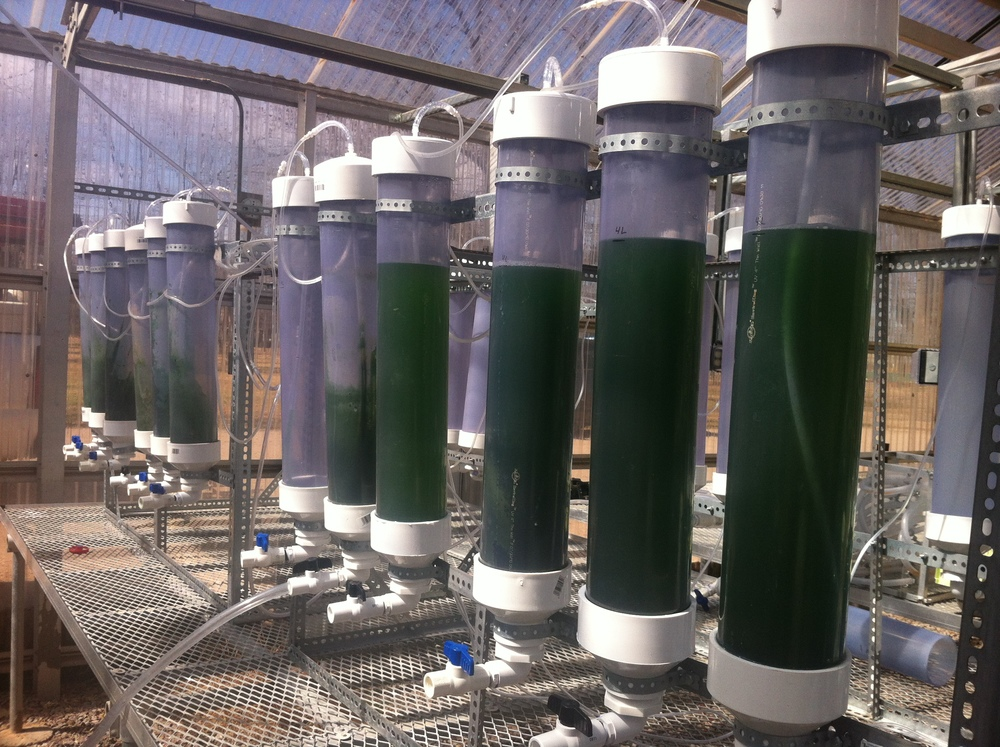 Full blown takeover of bioreactors by cyanobacteria.