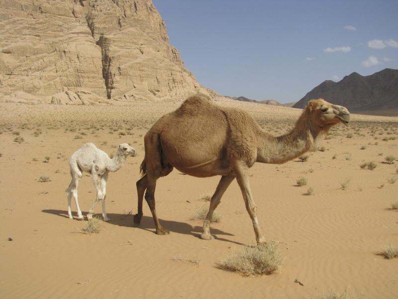 Camels grazing in Wadi Rum, Jordan