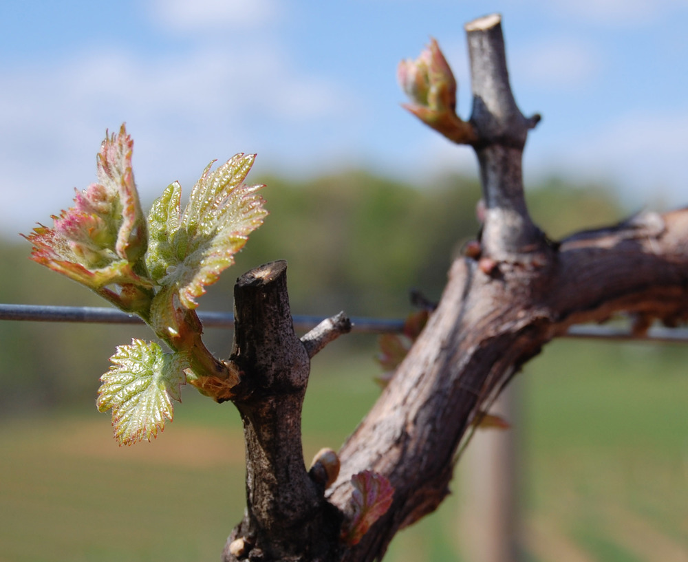 Bud break in the Cabernet Sauvignon, 2012
