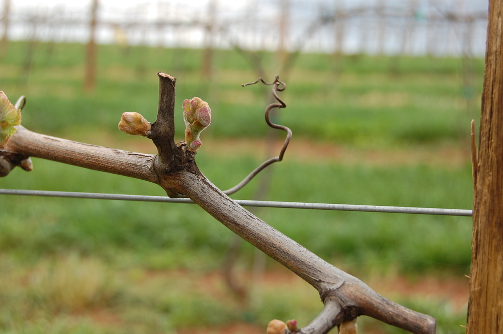 Bud Break 2012 3.JPG