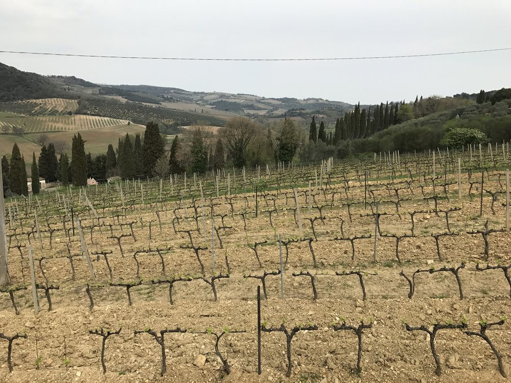 Vineyard at La Palazzetta