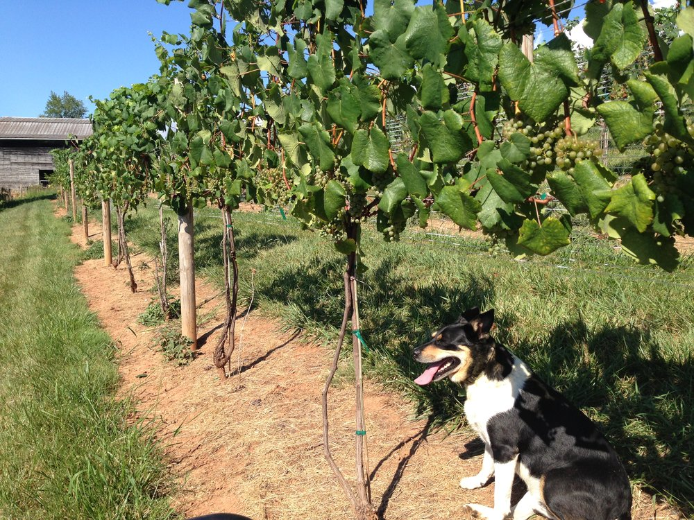 Sam in the 2016 Petite Manseng, keeping an eye open for turkeys