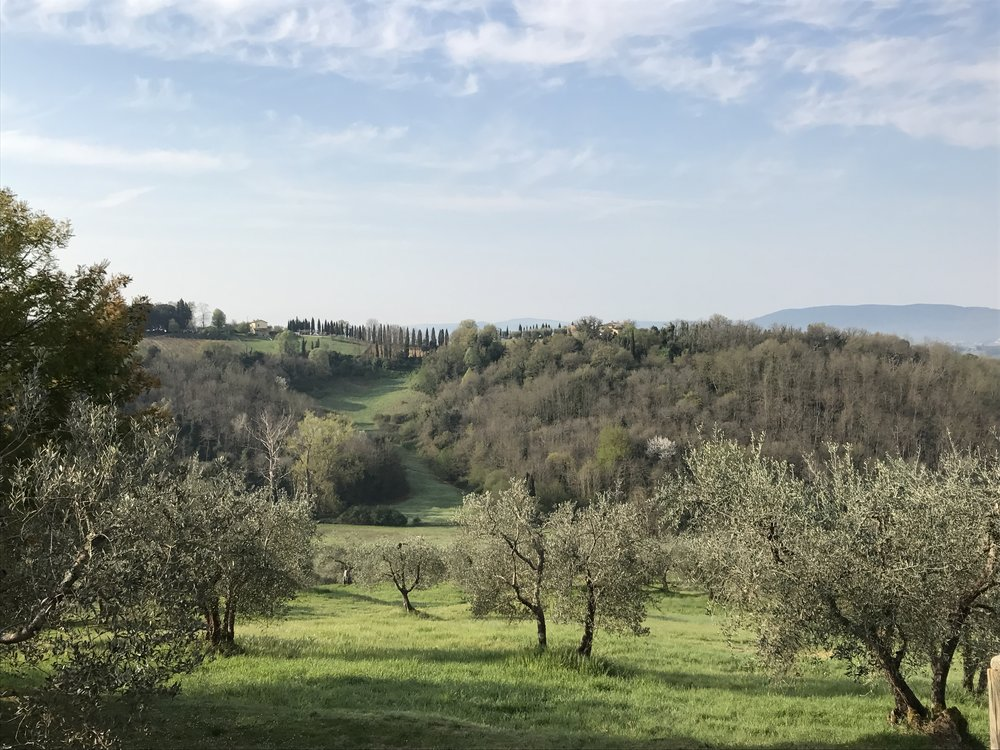 Olive grove at Terra Rossa, near Siena IT