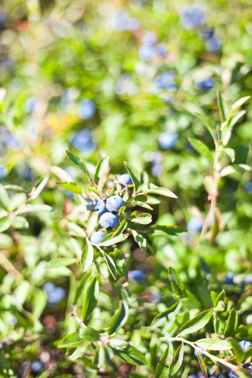 wild blueberry barren