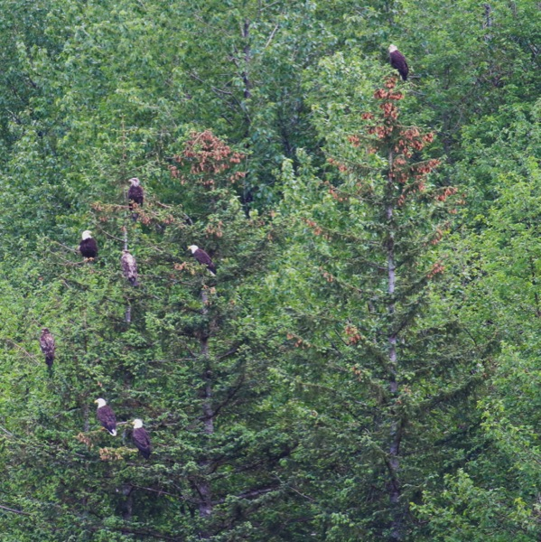 Bald eagles in Juneau, Alaska