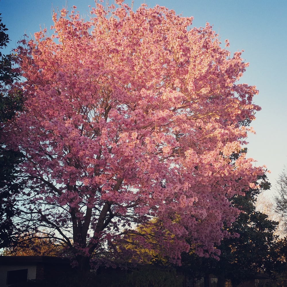 Pink blossoming tree - Tabebuia