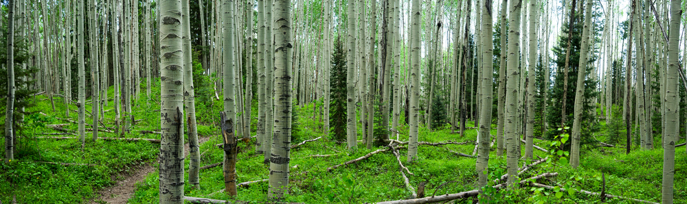 A beautiful grove of Aspen trees on the trail to Opal Lake, just outside of Pagosa Springs Colorado.