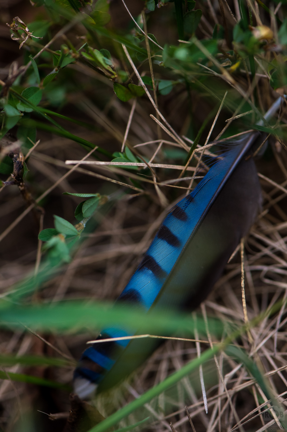 The Blue Jay feather as found on the ground.