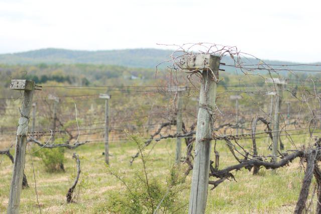 26 vineyard closeup.jpg