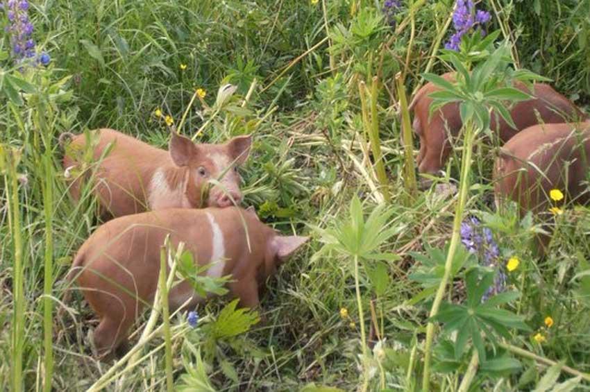 pigs-new2.jpg
