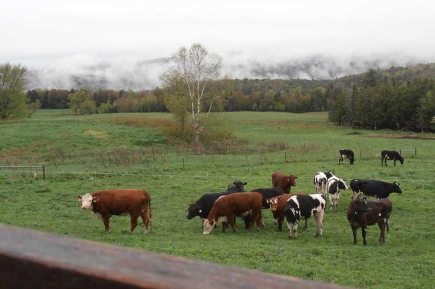 cows-new.jpg