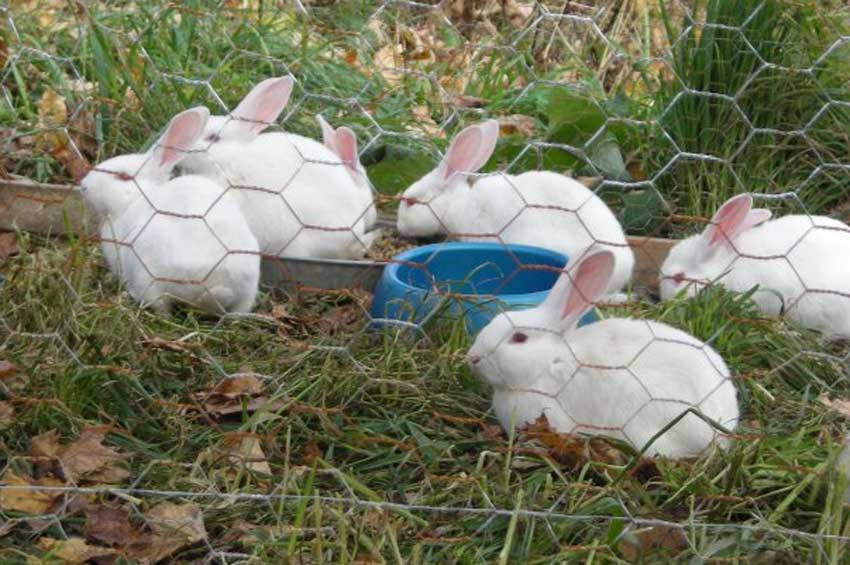 rabbits-new.jpg