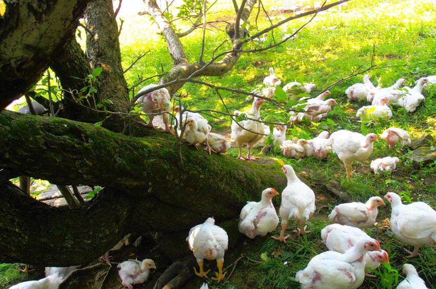 FreeRange Chicken Gardens How to Create a Beautiful