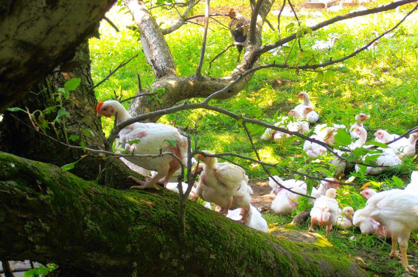 meat-bird-2.jpg